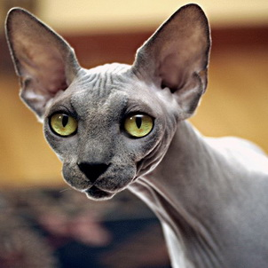 Сфинкс кот виды