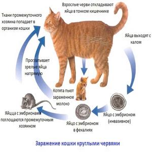 Признаки когда у котенка глисты симптомы