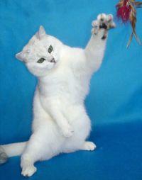 Серебристая шиншилла - британская короткошерстная.