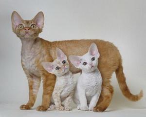 кошки гипоаллергенные фото