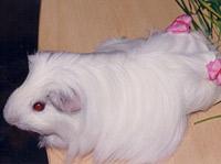 Длинношерстные морские свинки