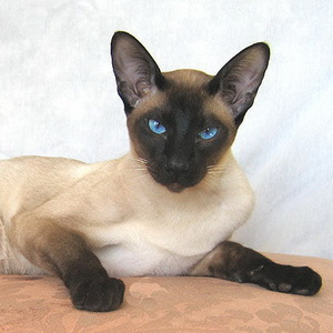 Сиамская кошка кошки портал о