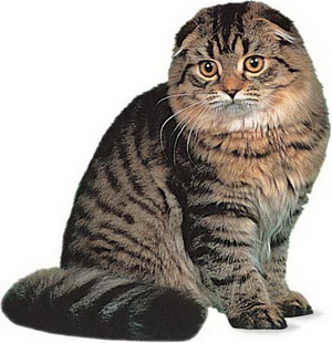 шотландские вислоухие взрослые кошки фото
